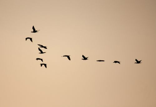 birds formation flock