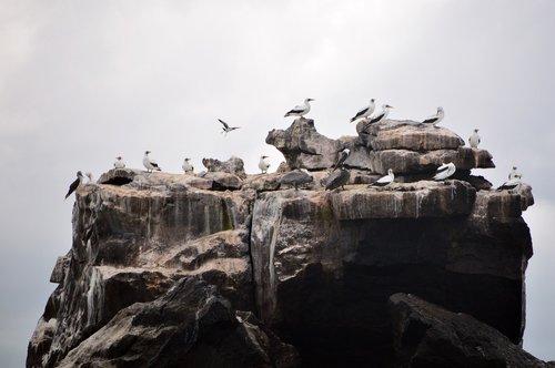 birds  rock  galápagos