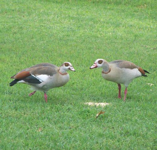 birds wildlife foul