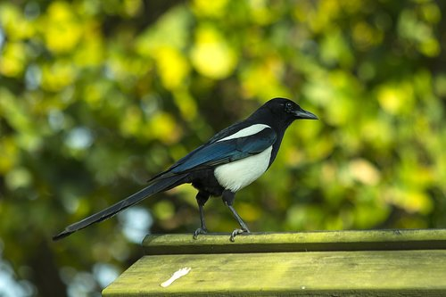 birds  corvidae  magpie