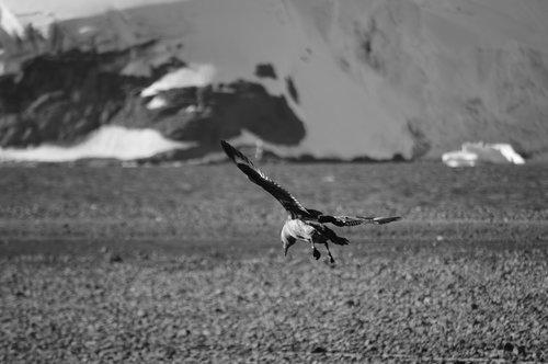 birds  antarctica  birds antarctic