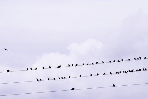 birds  stare  songbird