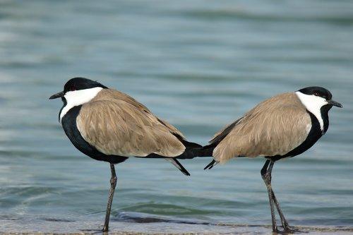 birds  spur winged lap winged  lake