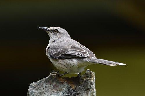 birds  northern mockingbird  america
