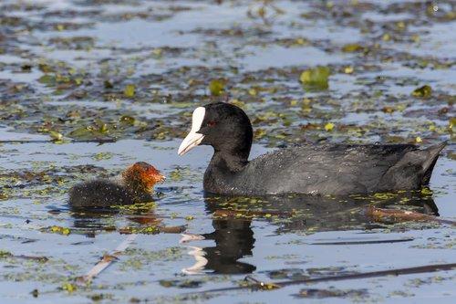 birds  eurasian coot  water