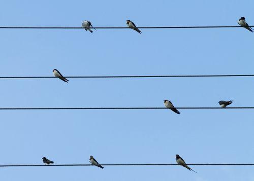 birds swallows lines
