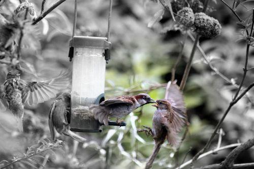 birds sparrows feathers