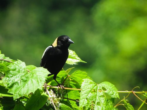 birds blackbirds bobolink