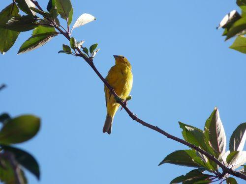 birds goldfinch nature