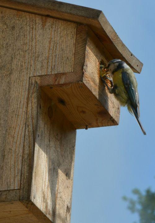 paukščiai,tits,mėlynas dantis,gamta