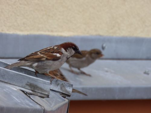 birds sparrows nature