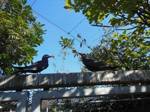birds inca terns larosterna inca