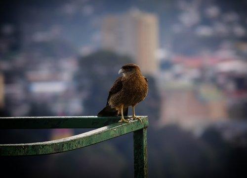 birds chilean  puerto montt  prey