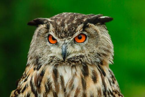 bird's eye view owl kautz