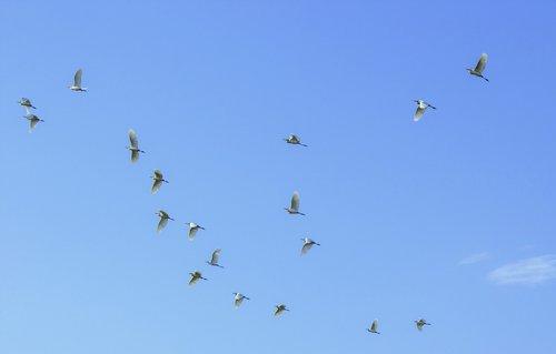 birds in flight  flying birds  birds