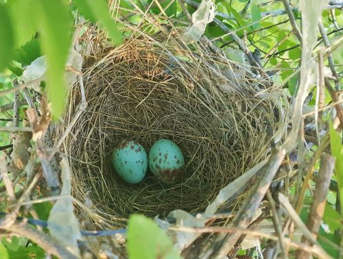 nest egg,bird's nest,nest,nesting,eggs,mockingbird eggs,northern mockingbird eggs,mockingbird nest,spring,spotted eggs,close up,nature