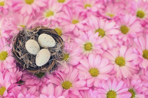 bird's nest bird eggs pink daisies