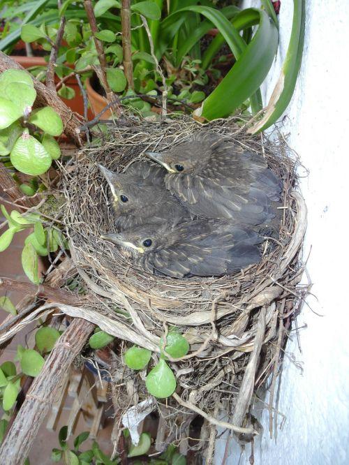 bird's nest blackbirds young birds