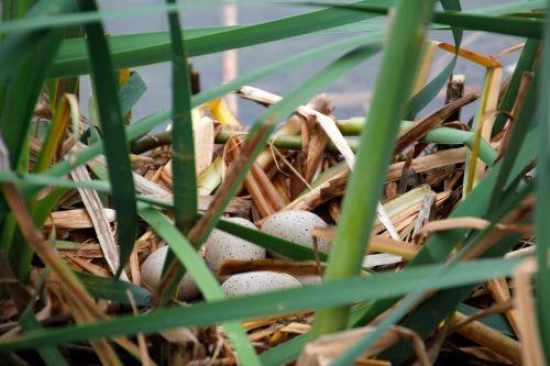 bird's nest hotbed egg