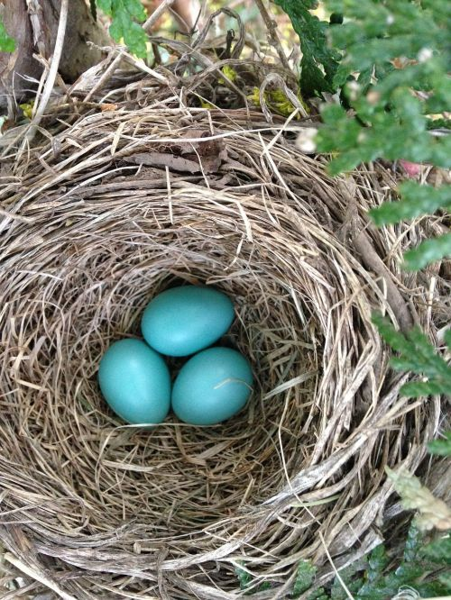 bird's nest robin nest nest