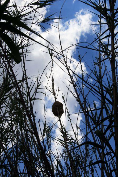 Bird's Nest On A Reed