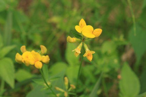 birdsfoot corniculatus flowers
