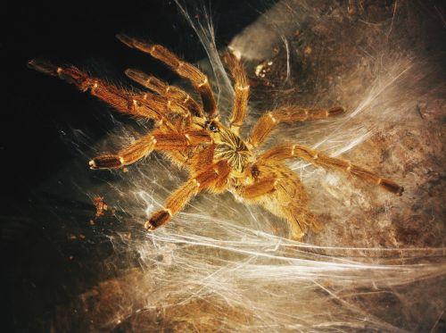 birdspider cobweb spider