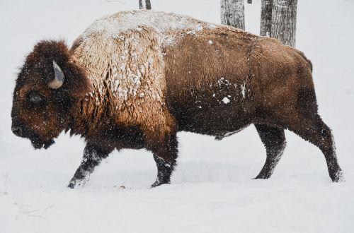 bison winter wild