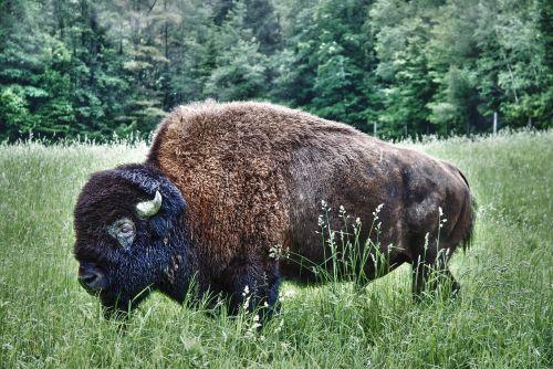 bison buffalo wet
