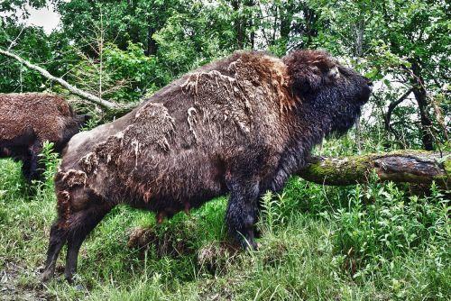 bison buffalo female