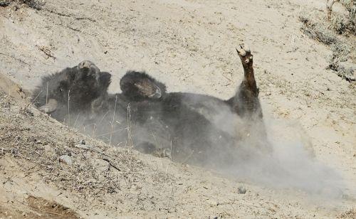 bizonas,buivolai,sustorėjimas,sausas purvas,bulius,purvas,žemė,atgal,Patinas,lauke,dykuma,geltonas akmuo,Nacionalinis parkas,Vajomingas,usa