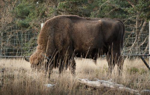bison mammal ruminant