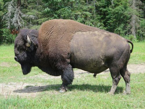 bison animal wild