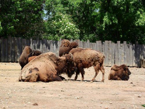 bison bison bison north american fauna