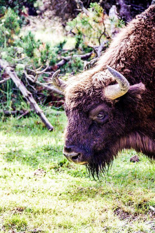 bison taurau force