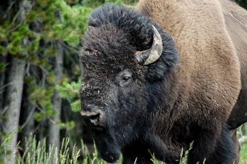 bison animal buffalo
