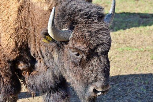 bison  buffalo  horns