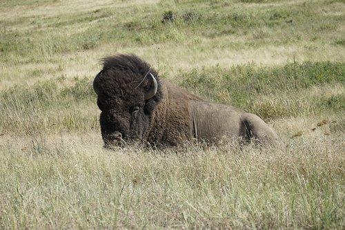 bison  national bison refuge  charlo montana