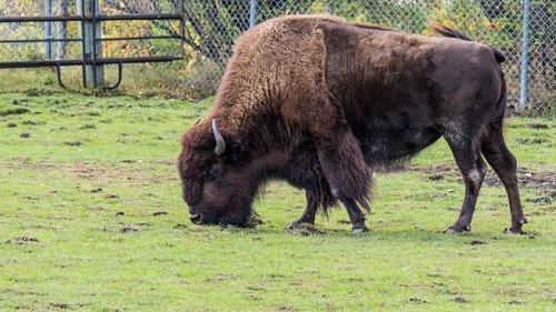 bison  buffalo  big beast