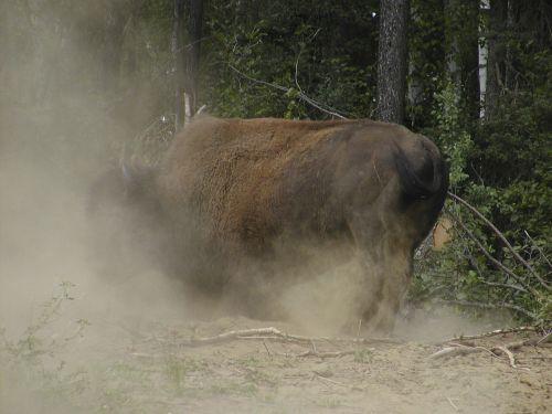 bison yukon dusty
