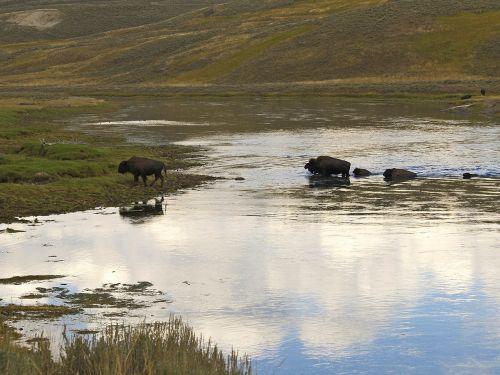 bison herd wandering