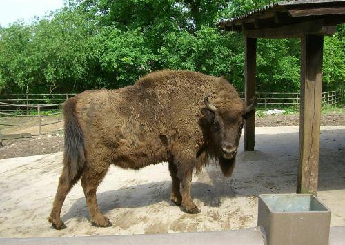 bison prairie mammal