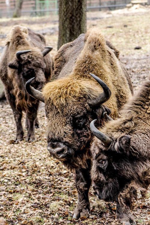 bison demonstration reserve lowland wisent