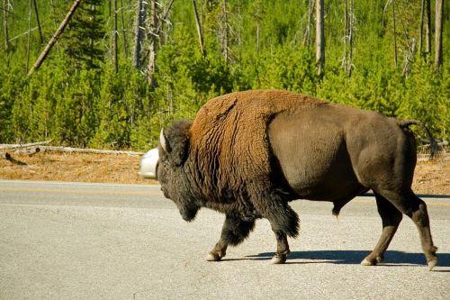 bison animal wildlife