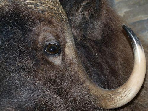 bison head mammal