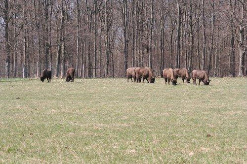 bison oxen  european  bornholm