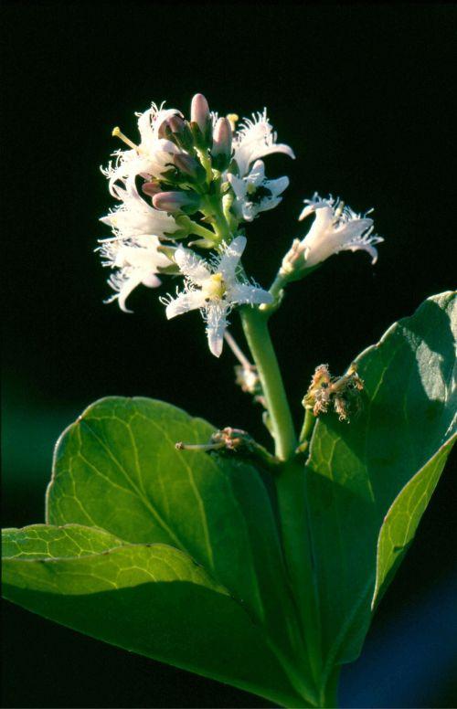 karštas dobilas,gėlė,augalas