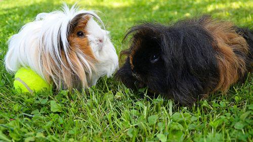 black white guinea pig