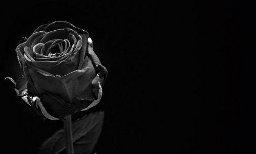 rose black rose bloom