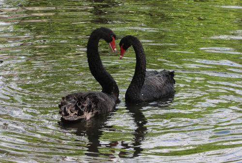 black flirt swan